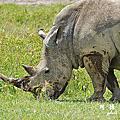 【肯亞‧Nakuru】納庫魯湖國家公園 黑、白犀牛終於現身