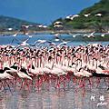【肯亞‧Bogoria】Lake Bogoria 肯亞觀賞紅鶴的最佳地點