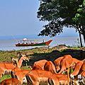 【肯亞‧Kisumu】基蘇木 黑斑羚保護區Wildlife Impala Park