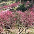 濁水巷櫻花