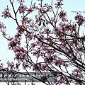 台南-洋紅鈴花木