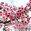 台東-初鹿牧場櫻花祭