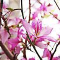 台南-三月羊蹄甲
