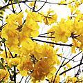 台南-三月黃花風鈴木