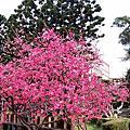 櫻花季-中央大學