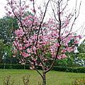櫻花季-長庚養生村
