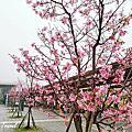 櫻花季-高鐵櫻花