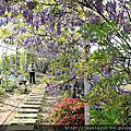 紫藤花 紫藤咖啡園