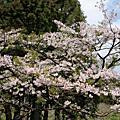 2007阿里山櫻花