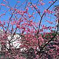 小溪旁的櫻花