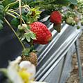 摘摘草莓趣