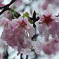 天元宮  櫻花