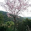 三芝賞櫻花士林官邸