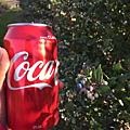 0.澳洲打工度假-採藍莓的日子