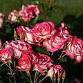 2011, 6月8日Royal Rose Garden, Greenwich, London, UK