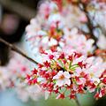 天元宮最後櫻花