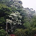 20120428土城桐花步道