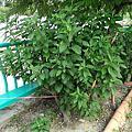 肝連(扁桃葉斑鳩菊)