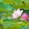 竹東‧頭前溪生態公園--荷花開