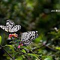 「飛蝶」‧失敗為成功之母-《金獅湖‧蝴蝶園》