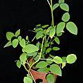 植物 蝶形花科