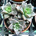植物 多肉 蓮花型