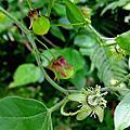 植物 西番蓮科