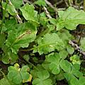 植物 野花野草 菊科