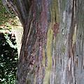 植物 桃金鑲科