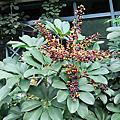 植物 五加科