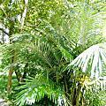 植物 棕櫚科