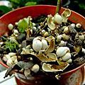 植物 大戟科