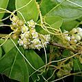 植物 旋花科