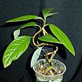 植物 樟科