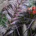 植物 禾本科