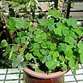 植物 酢漿草科