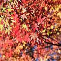 12月3日福壽山的楓紅