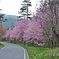 2012武陵櫻花季