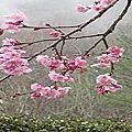 2011武陵櫻花記