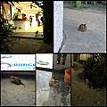 【菲律賓】[長灘島]沙灘、陽光、貓咪