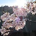 【遊】﹝嘉義﹞ 2011阿里山櫻花季