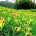 花蓮60石山-金針花
