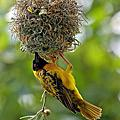 南寮黑頭織布鳥