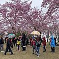戀戀櫻花季