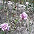 我家附近小玫瑰園
