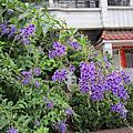105.4.10鳳山試驗林.鳥松濕地.金露花.長春槐.紅花