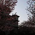 2014/3/23  陽明山永公路245巷  櫻花(東方寺)