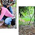 新北五股綠竹社區採筍