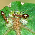 硬螊與長腳捷蟻