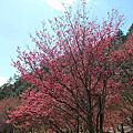 2014.2.23.武陵櫻花祭
